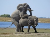 Elephant females fake it to teach younger girls aboutsex