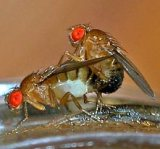 Rotten fruit signals sexy time for male fruit flies