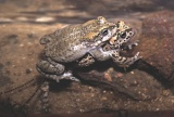 The making of a toad, through sex and cloning