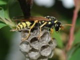 Patience is a virtue for invading wasp females