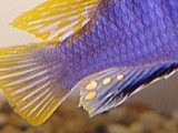 """Connecting the dots between anal fin """"egg spots"""" and fights in malecichlids"""