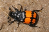 Beetle moms benefit from absentee dads