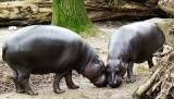 Male pygmy hippos control sex ratio with theirsperm
