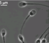 Sperm tracked in3D