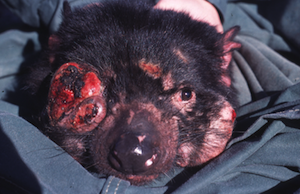 800px-Tasmanian_Devil_Facial_Tumour_Disease