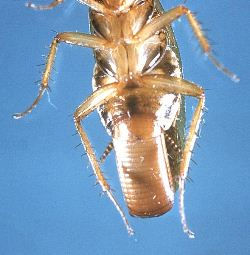 German cockroach female showing off her egg case. Photo courtesy of the Public Health Image Library of the CDC.
