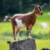 Giving STDs to goats. Forscience!