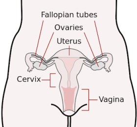 The female reproductive tract. Or, as sperm know it, The Danger Zone. (Image via Wikimedia)
