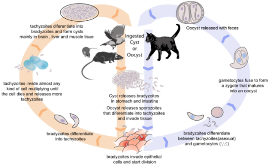 Toxoplasma gondii life cycle. Image via Wikimedia Commons.