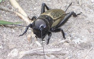Field cricket (genus Gryllus). Image by Roberto Zanon via Wikipedia.