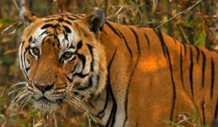 13721-tiger_banner