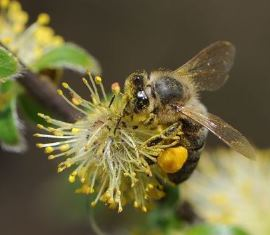 A honeybee acting as the wing...lady for a flower of the goat willow (aka pussy willow) Salix caprea. Image by Böhringer Friedrich via Wikimedia commons.