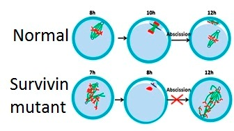 Chromosomal chaos in Survivin-less oocytes. From Figure 5 of Jiang, et al. 2014